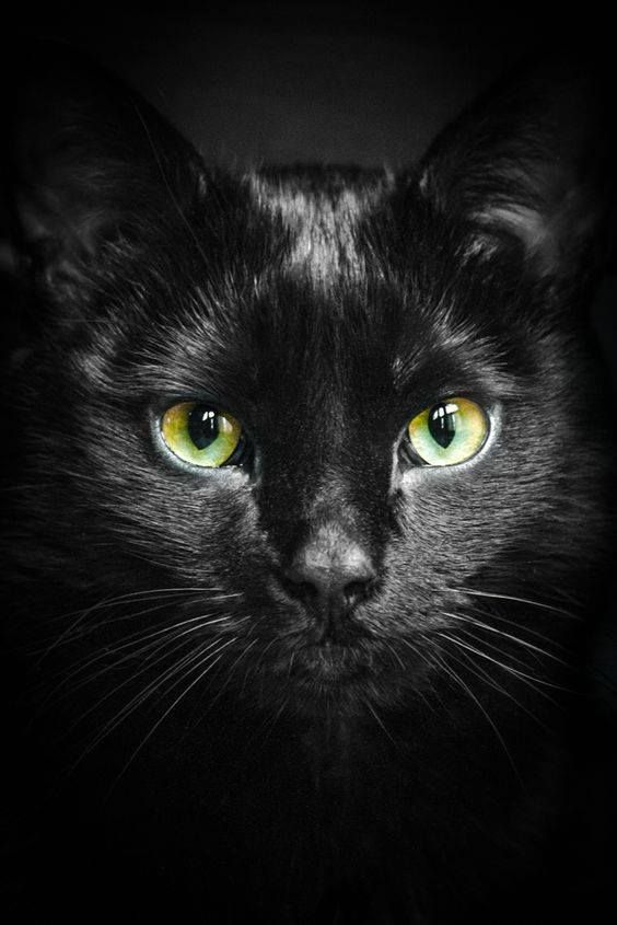 Car Sez The Real Meaning Behind A Black Cat Crossing Your Path Similar To The Chicken Road Chats Et Chatons Illustration De Chat Chats Adorables