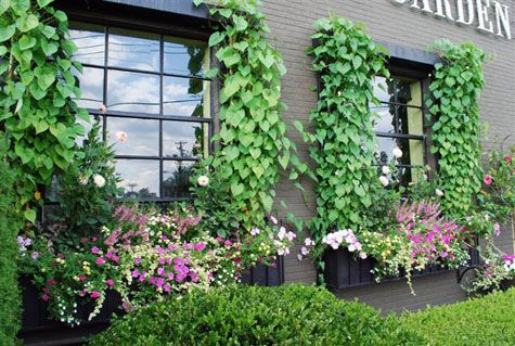 Window box ideas - morning glories up the sides of the window.