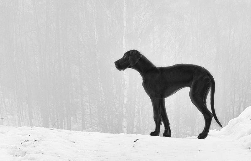 The Ultimate List Of Great Dane Names Big Dog Breeds Great Dane