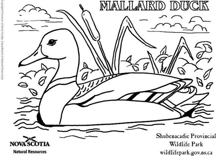 Coloring Page Duck Coloring Pages Colouring Pages Mallard Duck