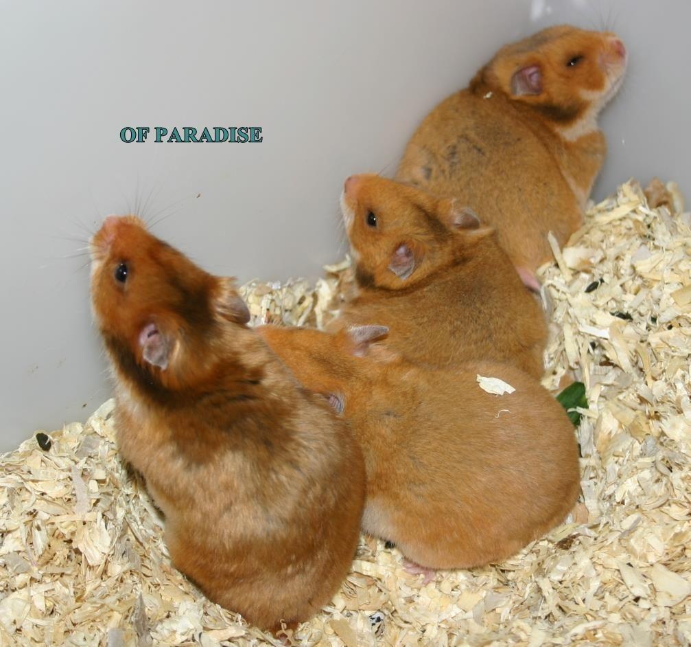 Nadine Tierverruckt S Photos Nadine Tierverruckt Facebook Syrian Hamster Hamster Hamster Cages
