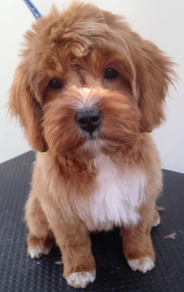 Cavapoo Grooming Pictures Google Search Cavapoo Puppy