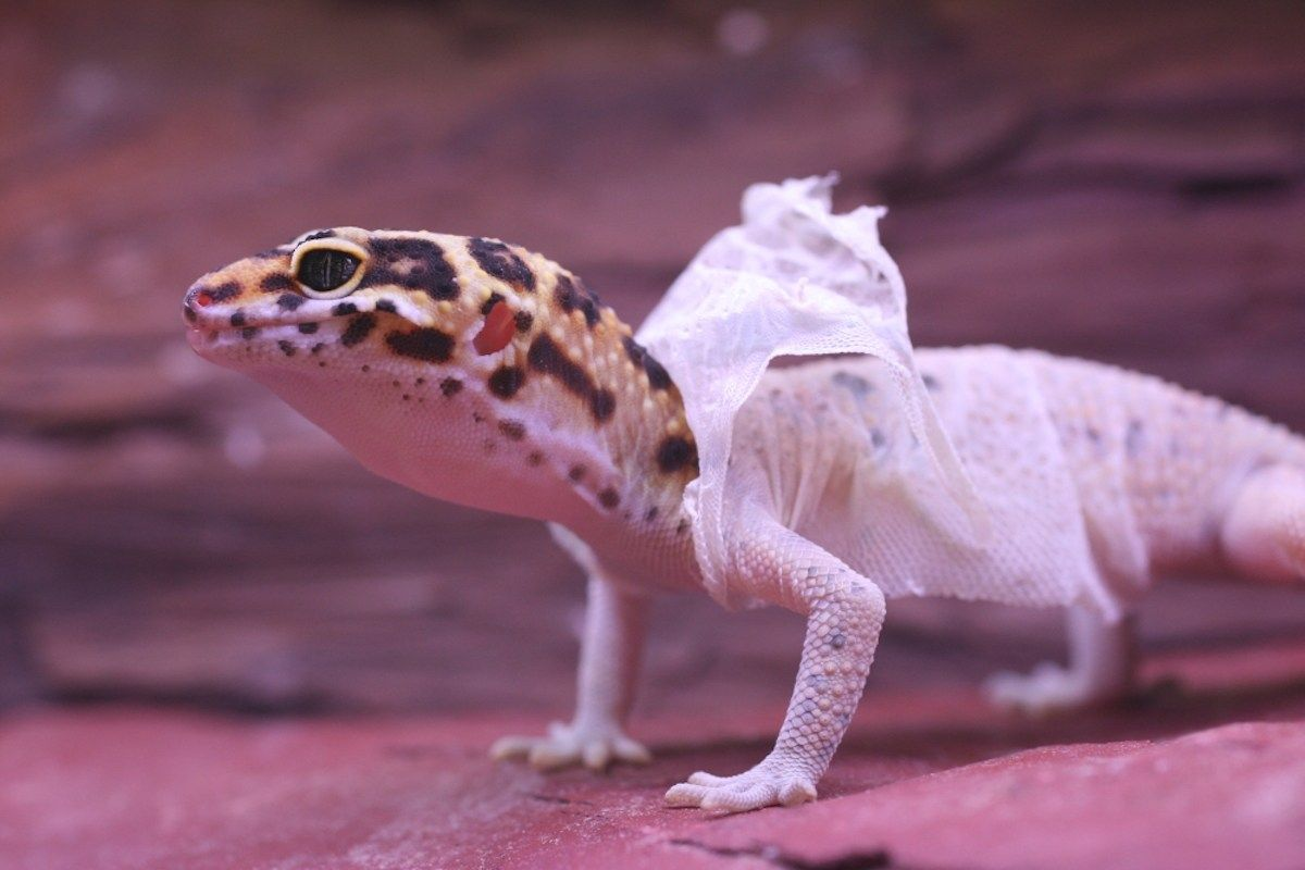 Shedding One's Own Skin | Dhamma | Leopard gecko care