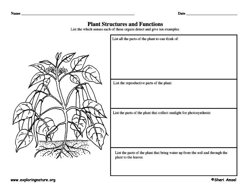 Graphic Organizer Plant Structures and Functions – Plant Structure Worksheet