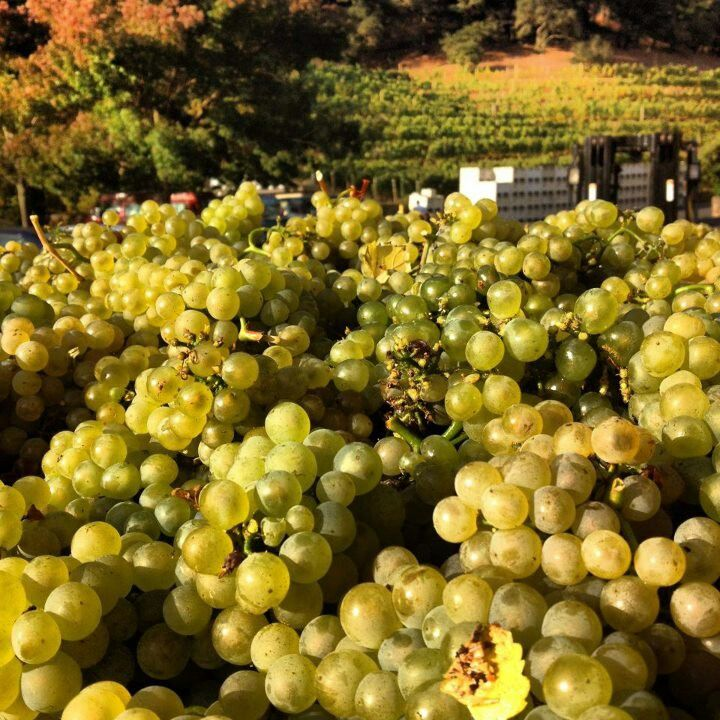 Pine Ridge   Grapes, Napa valley, Pine ridge