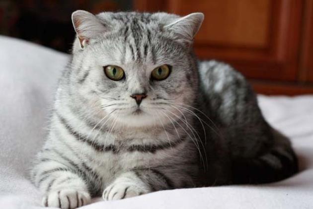 Delphinium British Shorthair Cats British Shorthair Cats British Shorthair Cute Cats