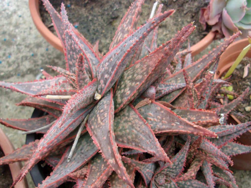 Aloe hybrid Bright Star beautiful colored aloe succulent hybrid succulent plant fairy garden