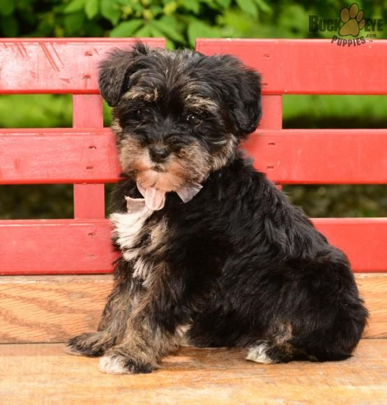 Biscuit Mini Schnoodle Puppy for Sale in Beach City, OH