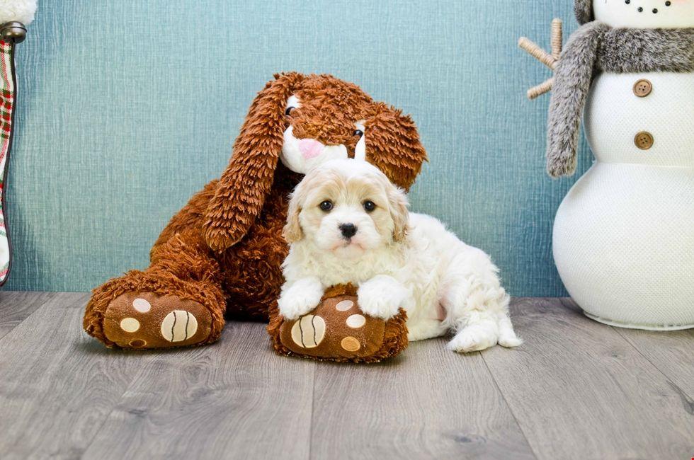 Cavachon puppies for sale ohio cavalier frise pups