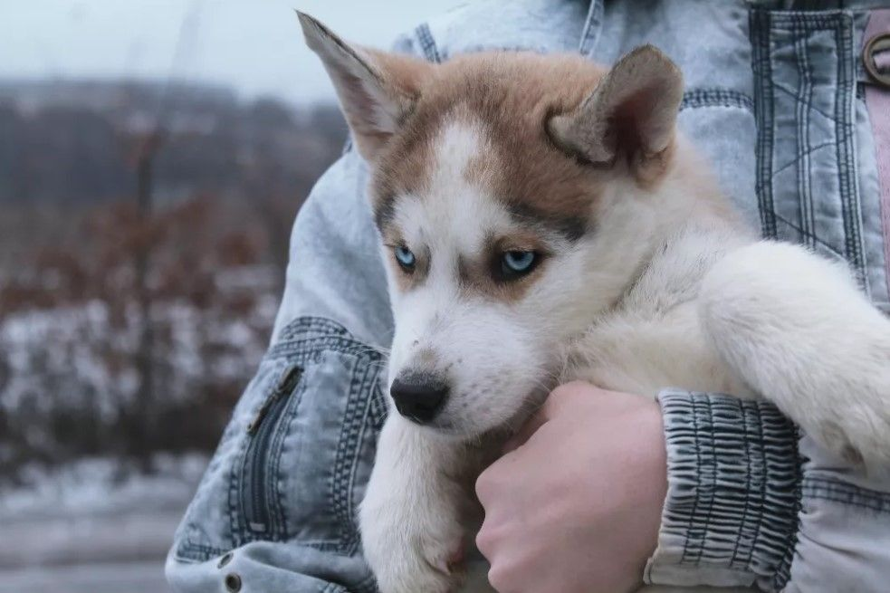 50 Female Siberian Husky Dog Names Siberianhusky Siberian Husky