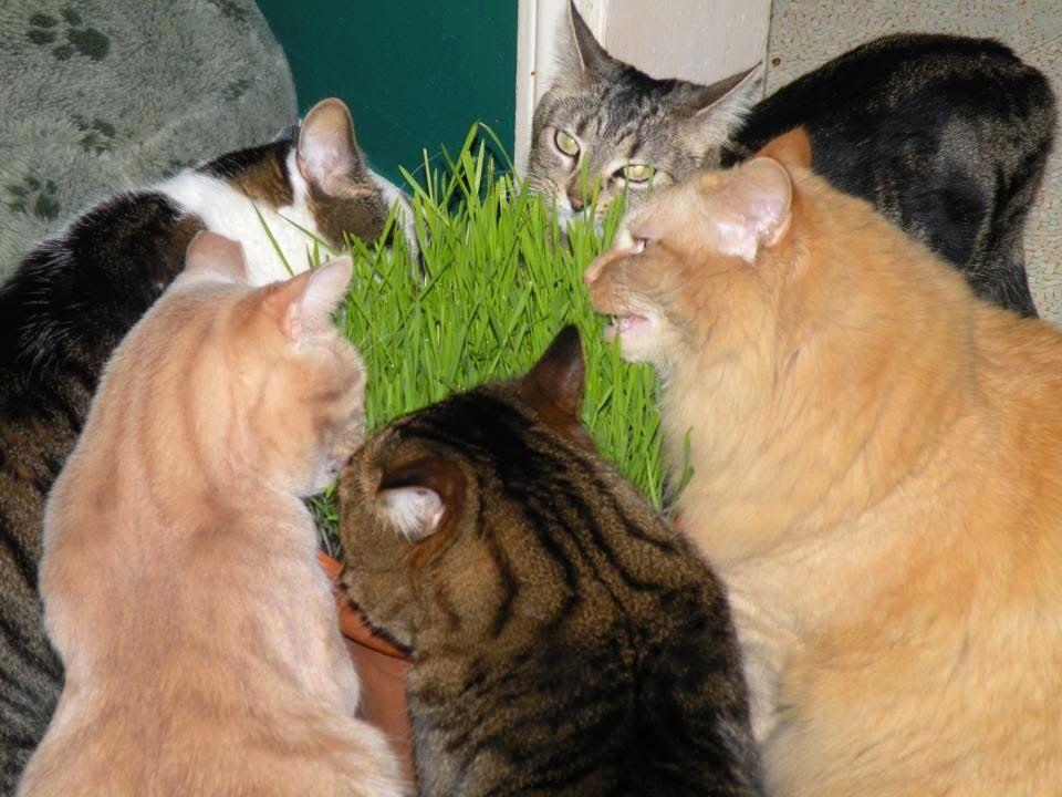 Horta em casa - Dicas para gateiros: Graminha Erva do gato - como plantar.