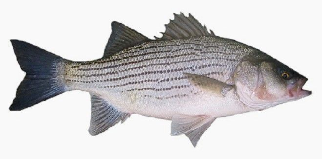 Wiper fish hybrid striped bass a hybrid between the for Colorado fish stocking