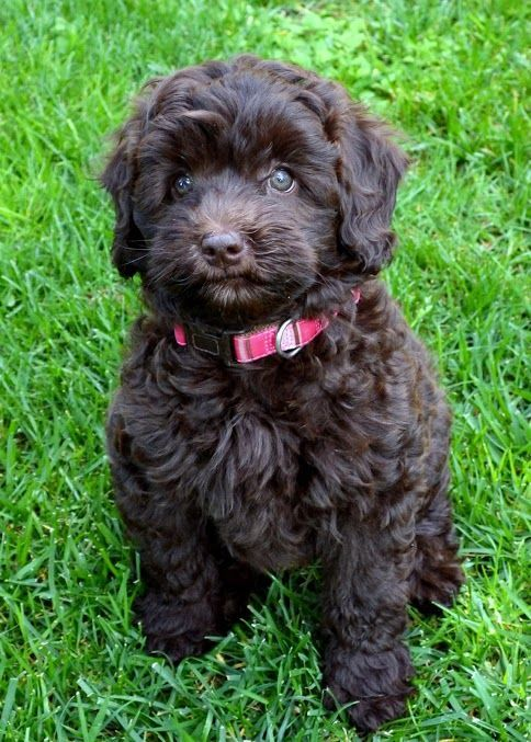 Chocolate Labradoodle Puppy Animals Labradoodle Chocolate