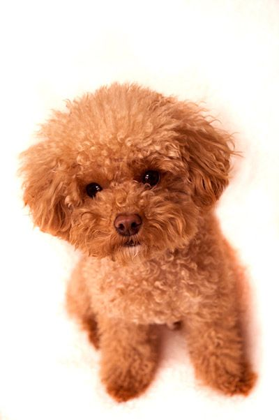 Cute Toy Poodle Puppy Toy Poodle Puppies Poodle Puppies