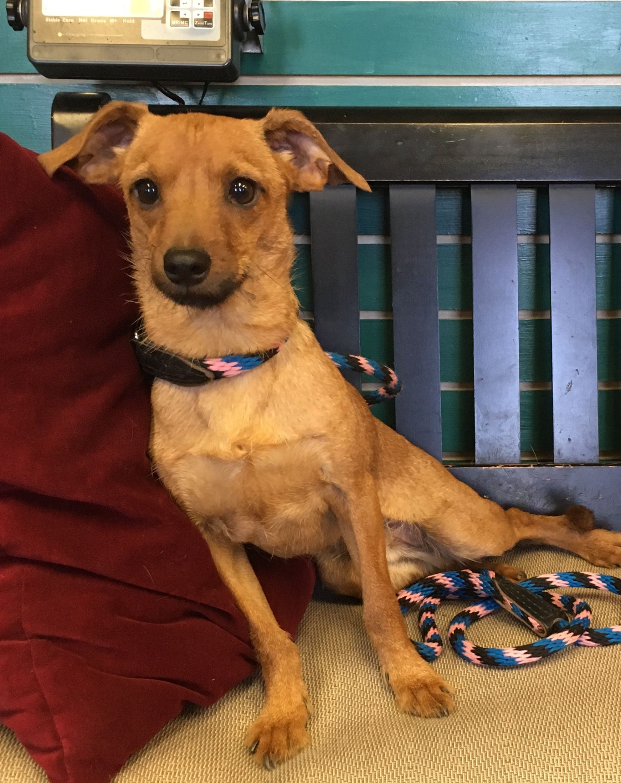Chiweenie Dog For Adoption In Amarillo Tx Adn 707619 On
