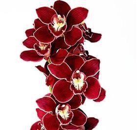 Red Lip Cymbidium Orchid Instead Of Roses In 2020 Red Orchids Cymbidium Orchids Amazing Flowers