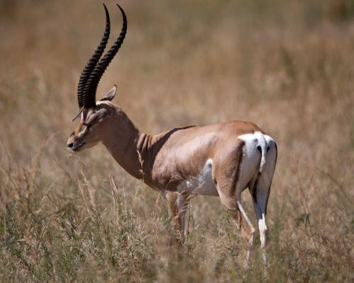 grants gazelle africa safari photography | Africa ...