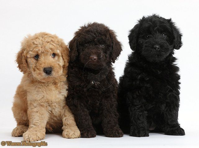 3 Of The Colors Goldendoodles Can Be Golden Chocolate Black