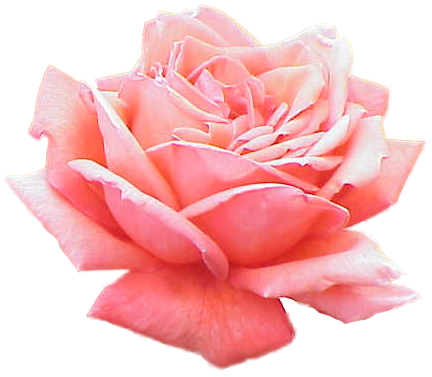 Pink Rose PNG Picture i 2020