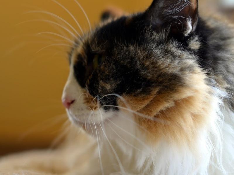 CatShirt Norwegian forest cat, Cats, Kittens