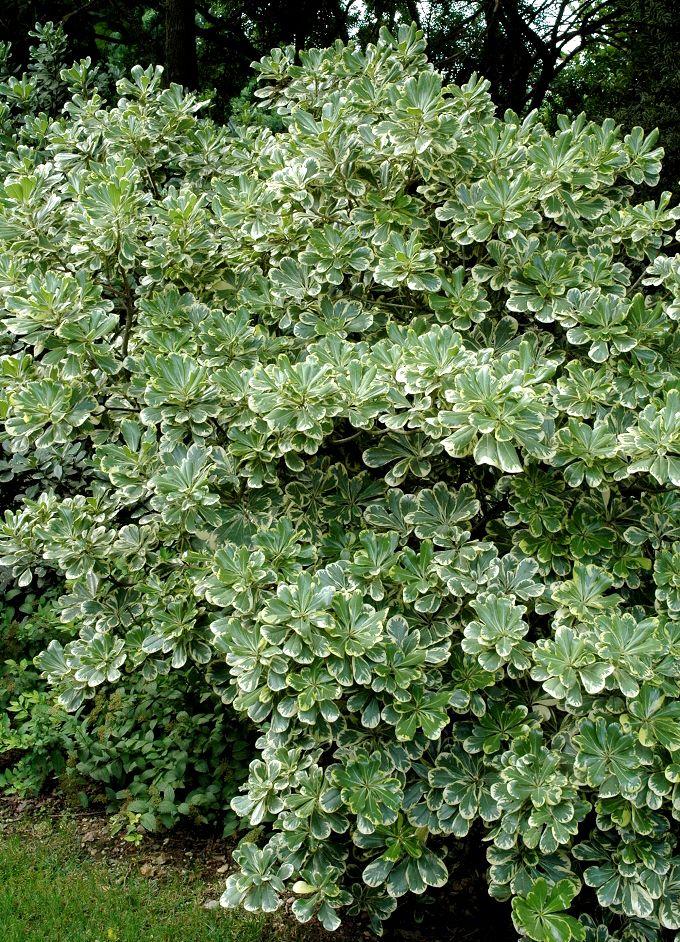 Picture of Live Mock Orange aka Pittosporum t. 'Variegata' Shrubs Plant Fit 5 Gallon Pot
