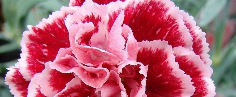 Dianthus, Border Pinks, Carnation Pinks Dianthus 'Scent First ...