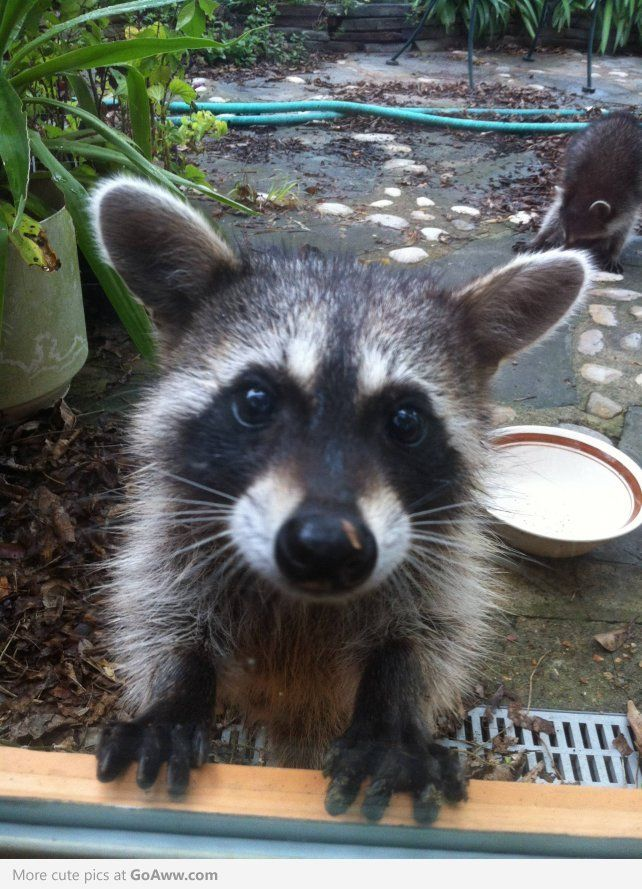 What To Do If A Raccoon Approaches You