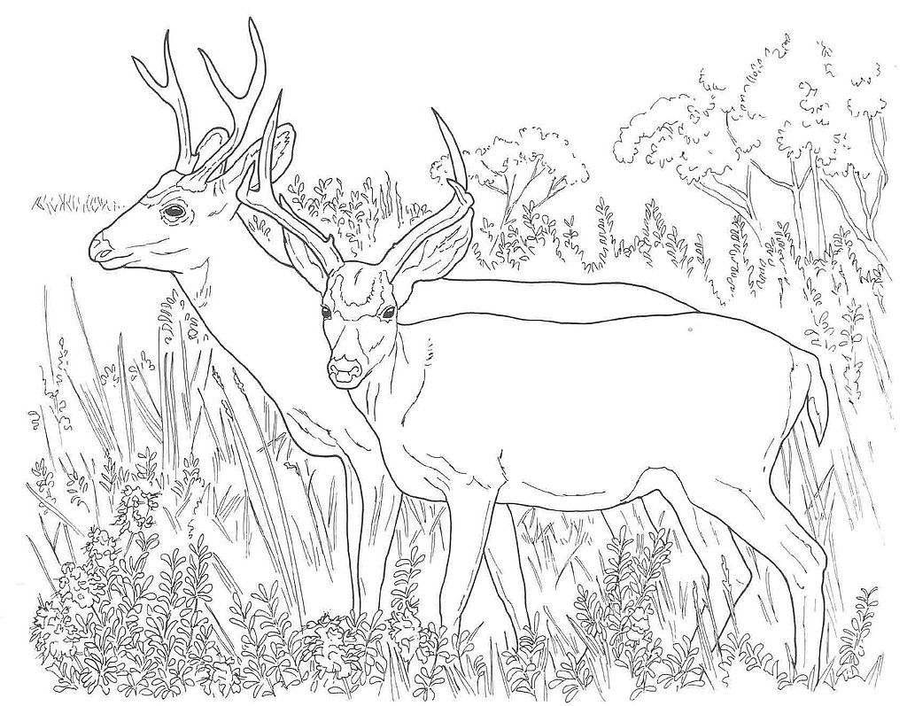 Two White Tailed Deers Coloring Page From Category Select 27278 Printable Crafts Of Cartoons Nature Animals Bible And Many More