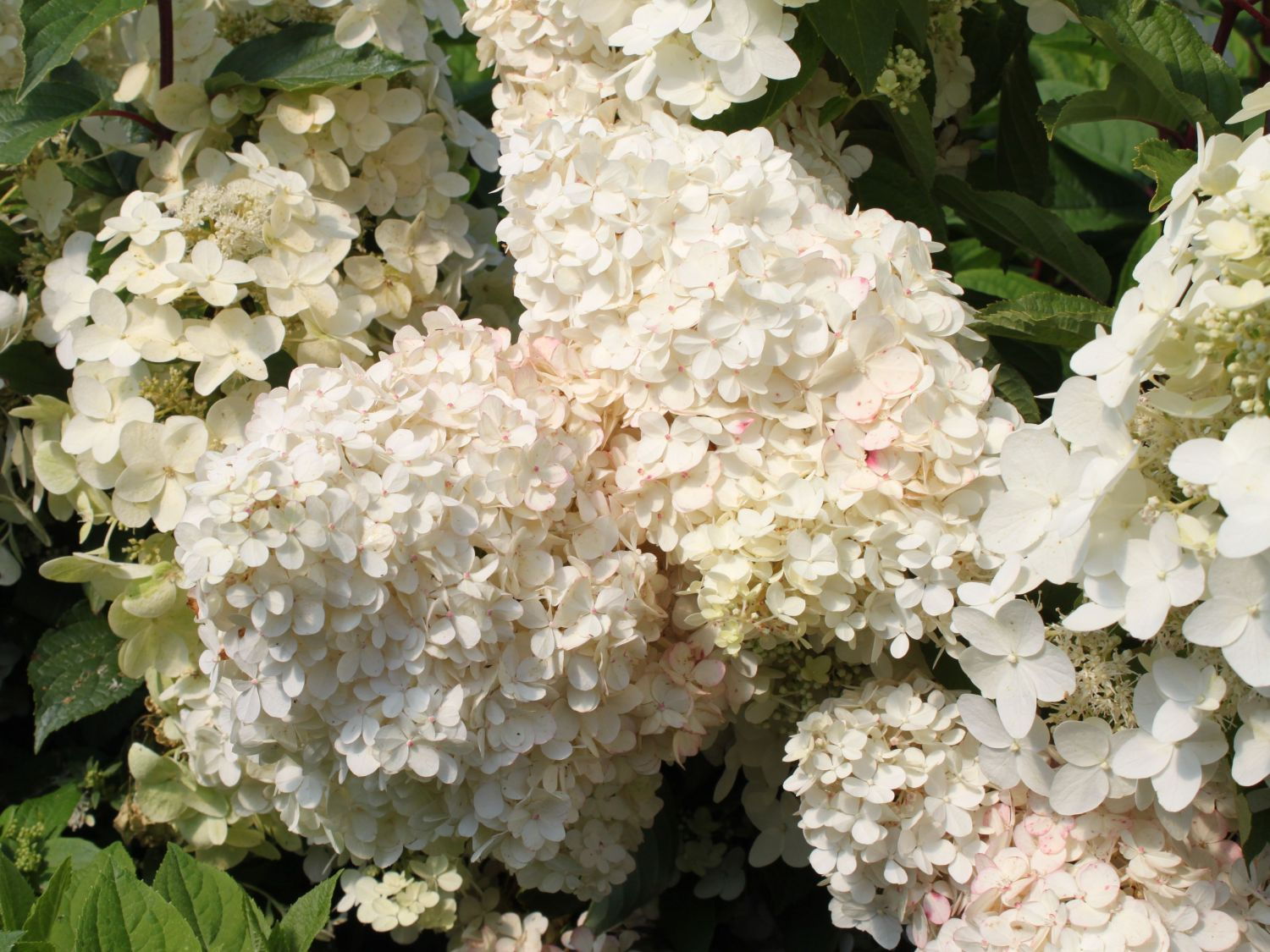 rispenhortensie 39 unique 39 hydrangea paniculata 39 unique 39 hortensien pinterest hydrangea. Black Bedroom Furniture Sets. Home Design Ideas