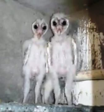 Andhra Pradesh Video Of Aliens In Vizag Doing The Rounds They Re Just Barn Owls In 2020 Barn Owl Baby Barn Owl Owl