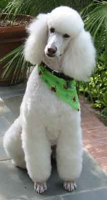 What A Spiffy Looking Puppy Standard Poodle Poodle Puppy Poodle Dog