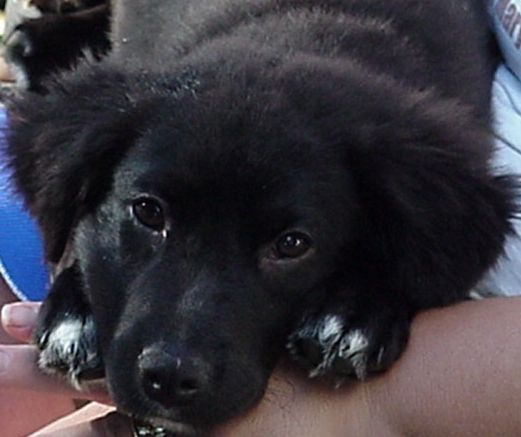 Tip As A Pup Border Collie Lab Mix Border Collie Puppies Cute