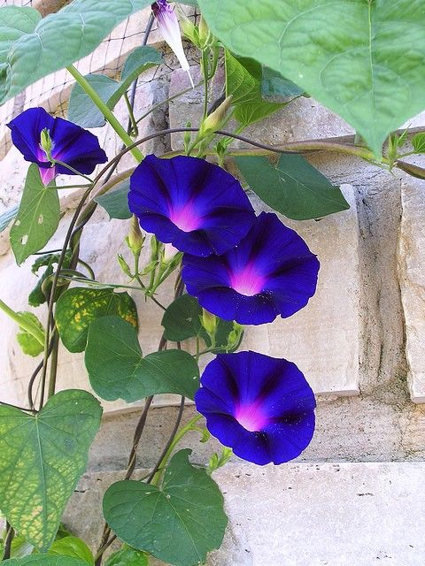 Morning Glory Grandpa Ott S Is The Name You Can Get These At Www Seedsavers Org Suculentas Coloridas Arbustos Flores Azuis