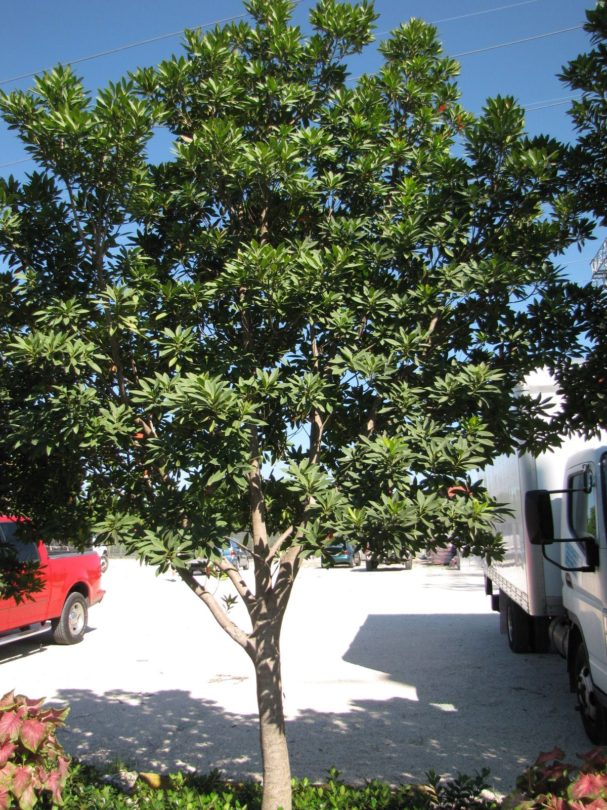 japanese blueberry tree google image result for http