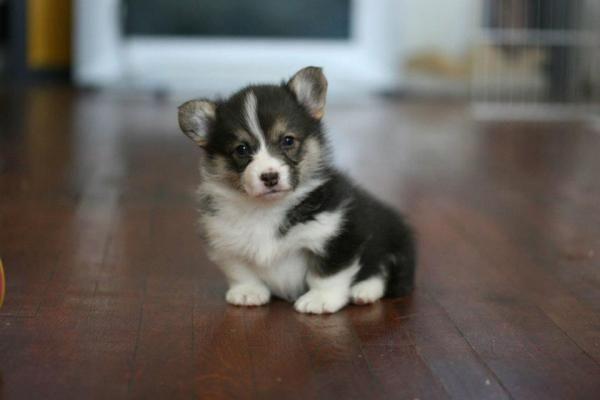 Precious Puppy Corgi Curig Faerietale Dusky Willow C Juliana Du Pree Curig Faerietale Pembroke Welsh Corgis Puppies