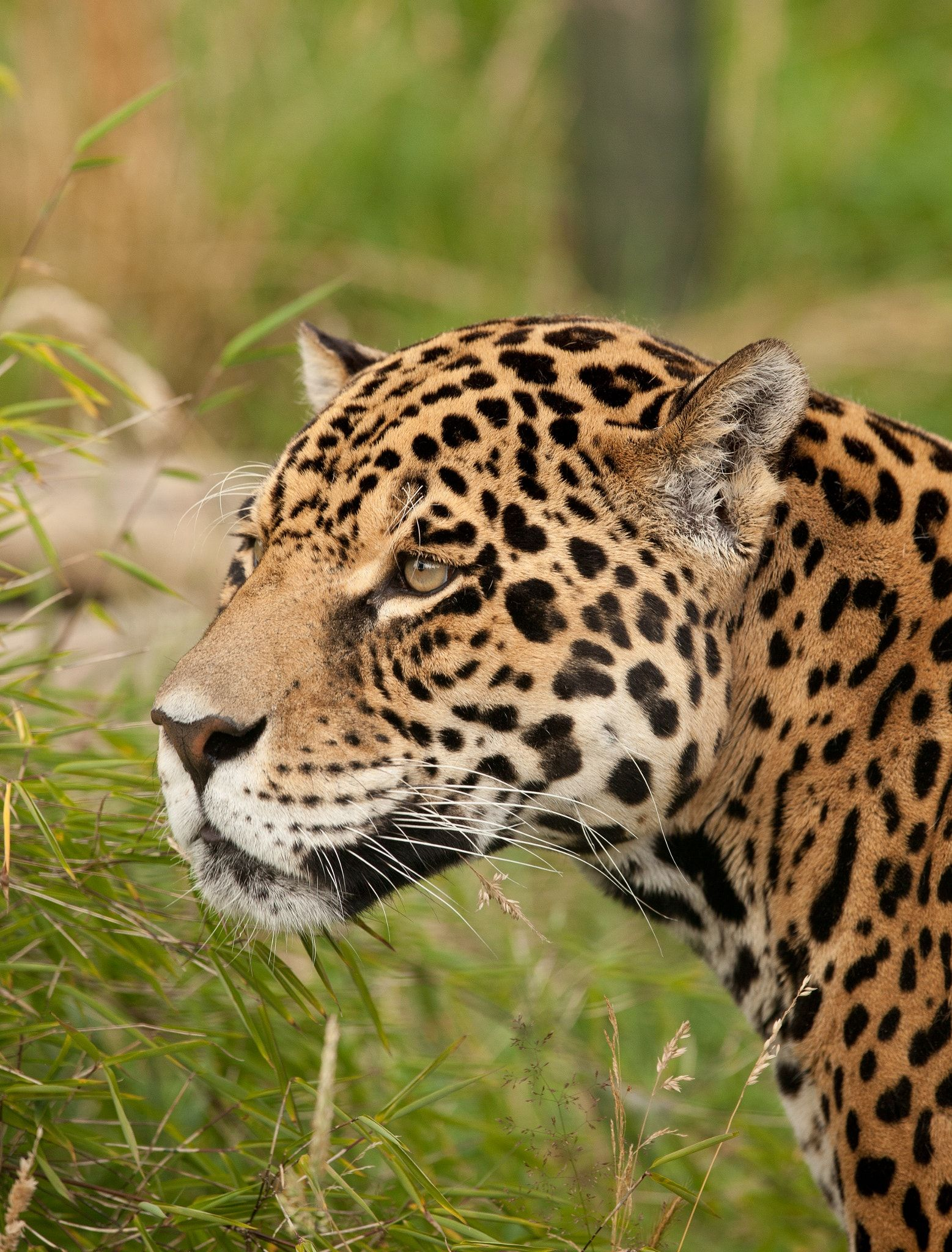 Jaguar beautiful survivor We need to do more to save the
