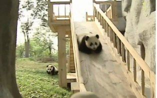 Pandas play on a slide and cuteness ensues in this popular YouTube video.