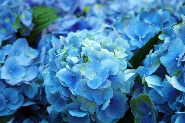Quiz: How Much Do You Know About Blue Flowers Pictures? | Blue Flowers Pictures #blueflowerwallpaper