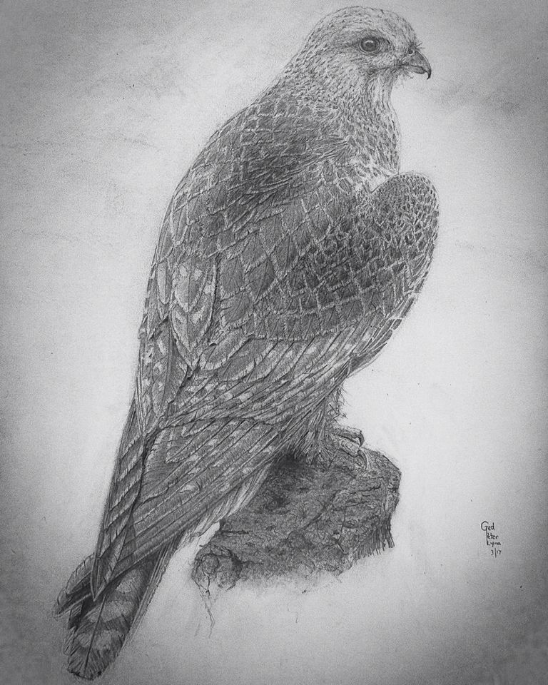 Gyrfalcon, drawn by Ged Peter Lynn; artist and researcher of Slakewater Creative, March 2017