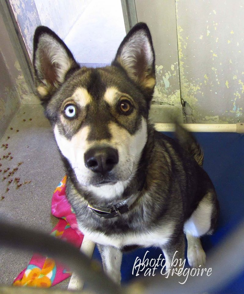 ADOPTED --- A4803977 I am a very friendly male brown/white Siberian Husky. I came to the shelter as a stray on Feb 26. Available 3/2/15 Baldwin Park shelter https://www.facebook.com/photo.php?fbid=931590973519407&set=pb.100000055391837.-2207520000.1425256000.&type=3&theater