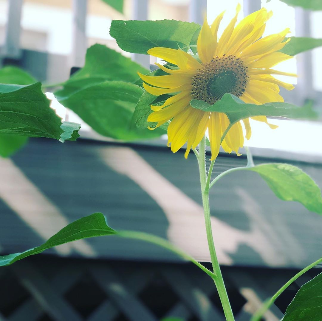 My Smallest Sunflower Yet The Second To Bloom Bloom Sunflower Sunflowers Sunflowerfield Flower Flow Small Sunflower Sunflower Fields Garden Design