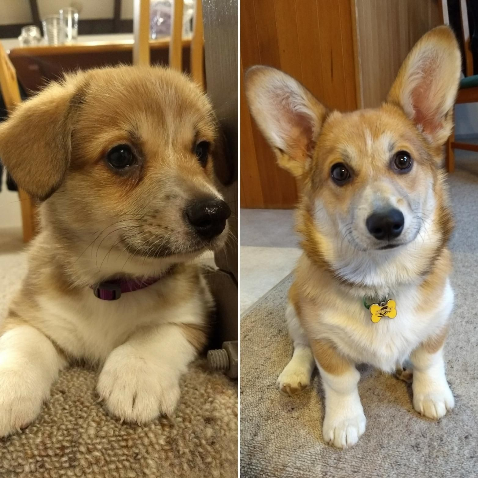 From Puppy To Dog 8 Weeks V 5 Months Corgi Dog Puppies