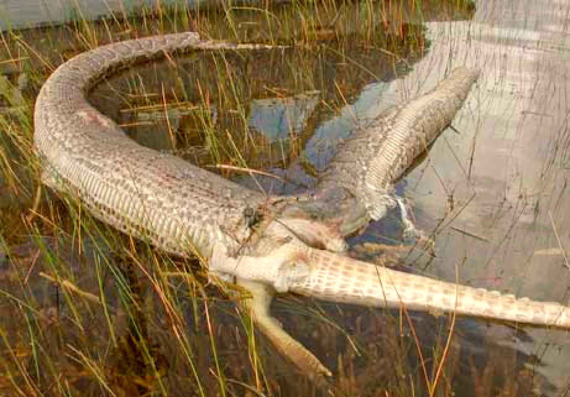 Alligator Vs Anaconda Fight Comparison Who Will Win Burmese