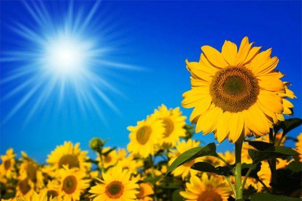 Sunflower Movement Inspires New Solar Panel Design Sunflower Stock Photography Free Solar Panels Design