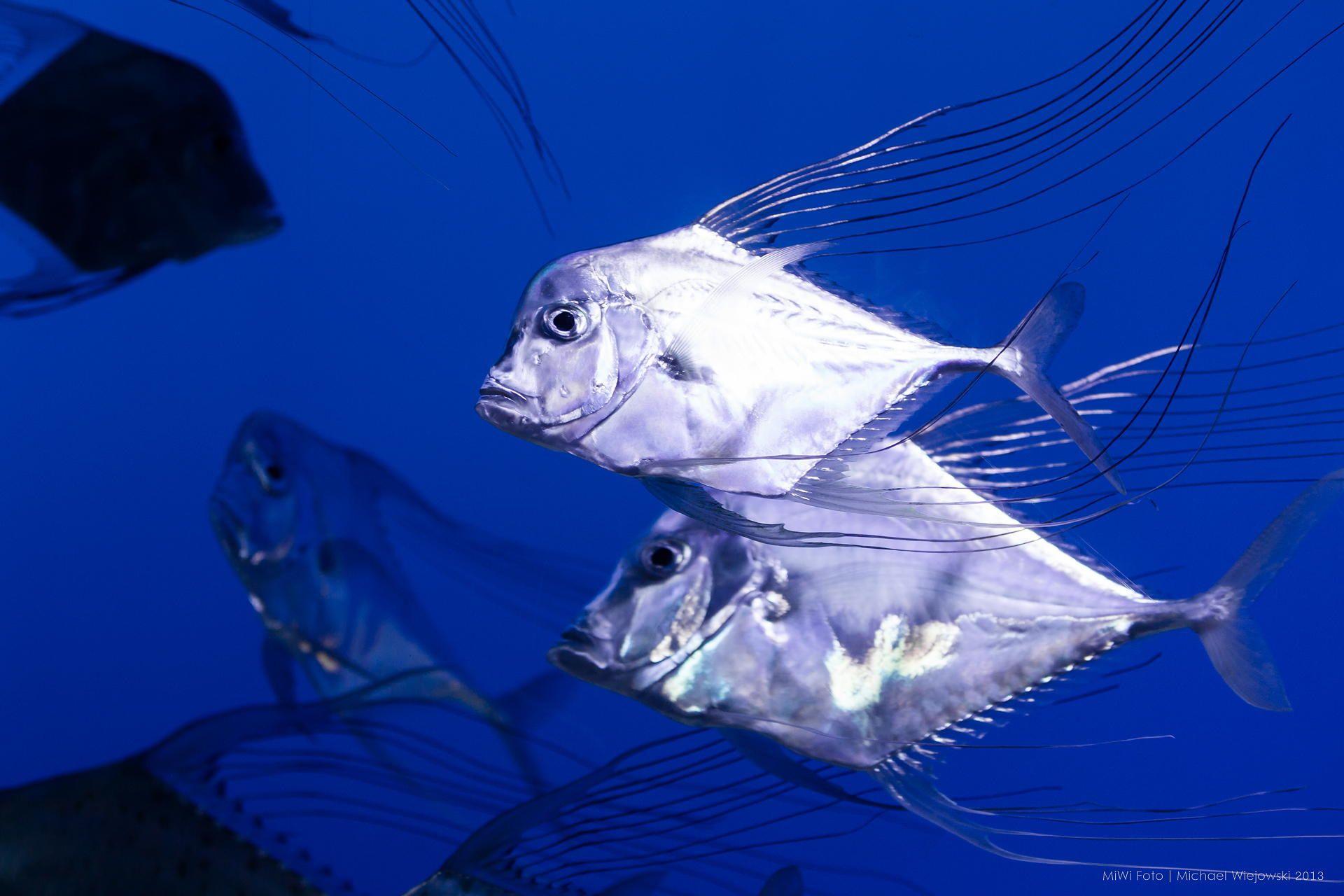 Freshwater aquarium fish melbourne - Fish