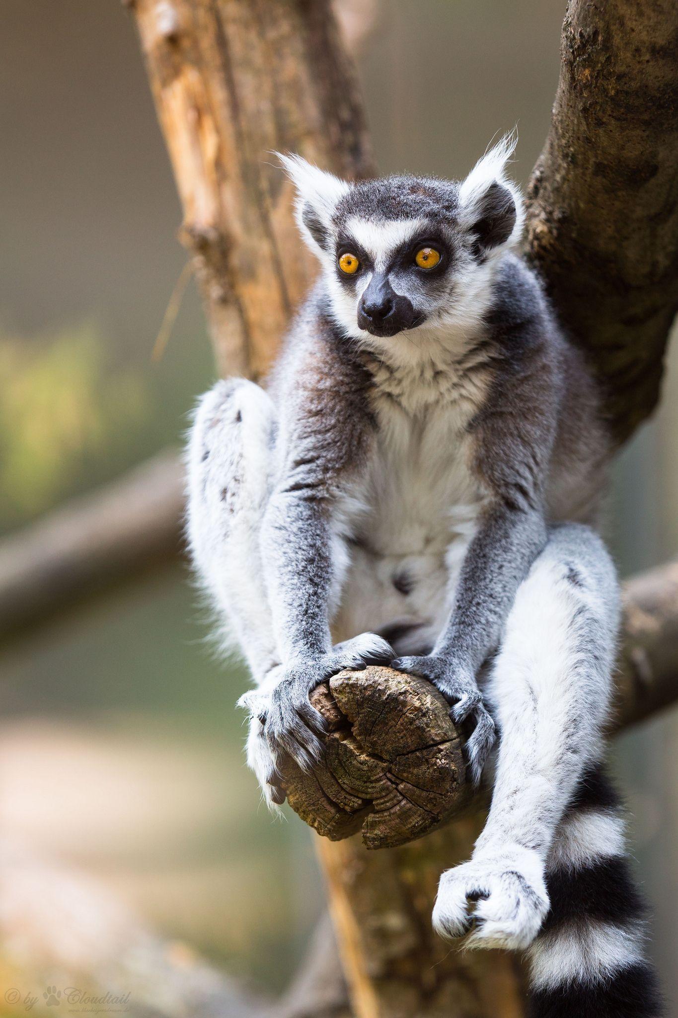 lemur kæledyr