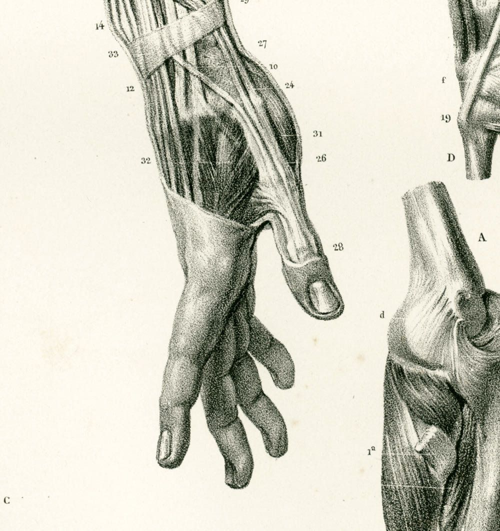 1831 Hand Anatomy Fingers Muscles Nerves Forearm Print Human