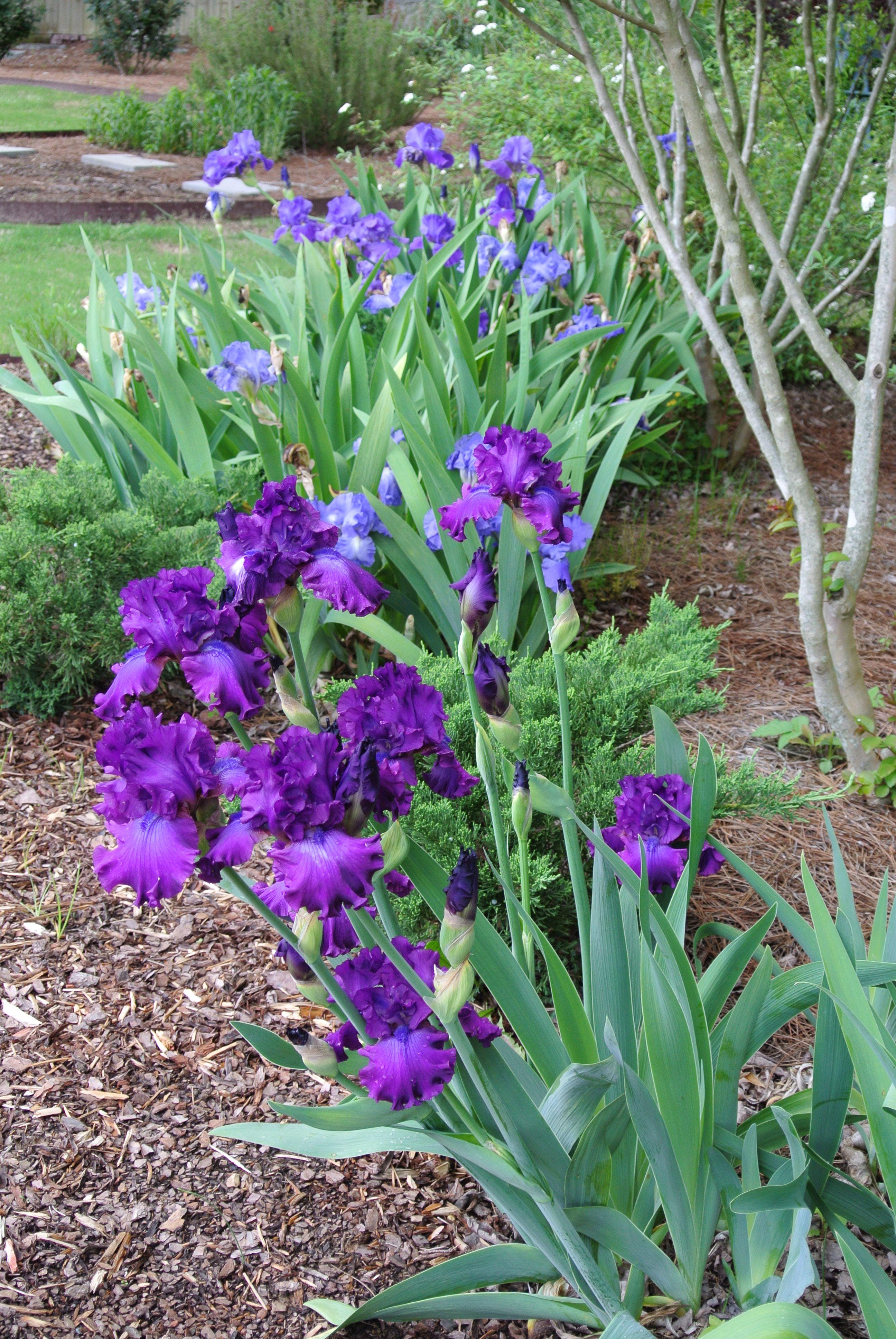 Purple Bearded Iris Iris Garden Iris Flowers Purple Garden