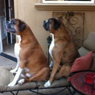 My Boxers Sharing Boxer Dogs Animals