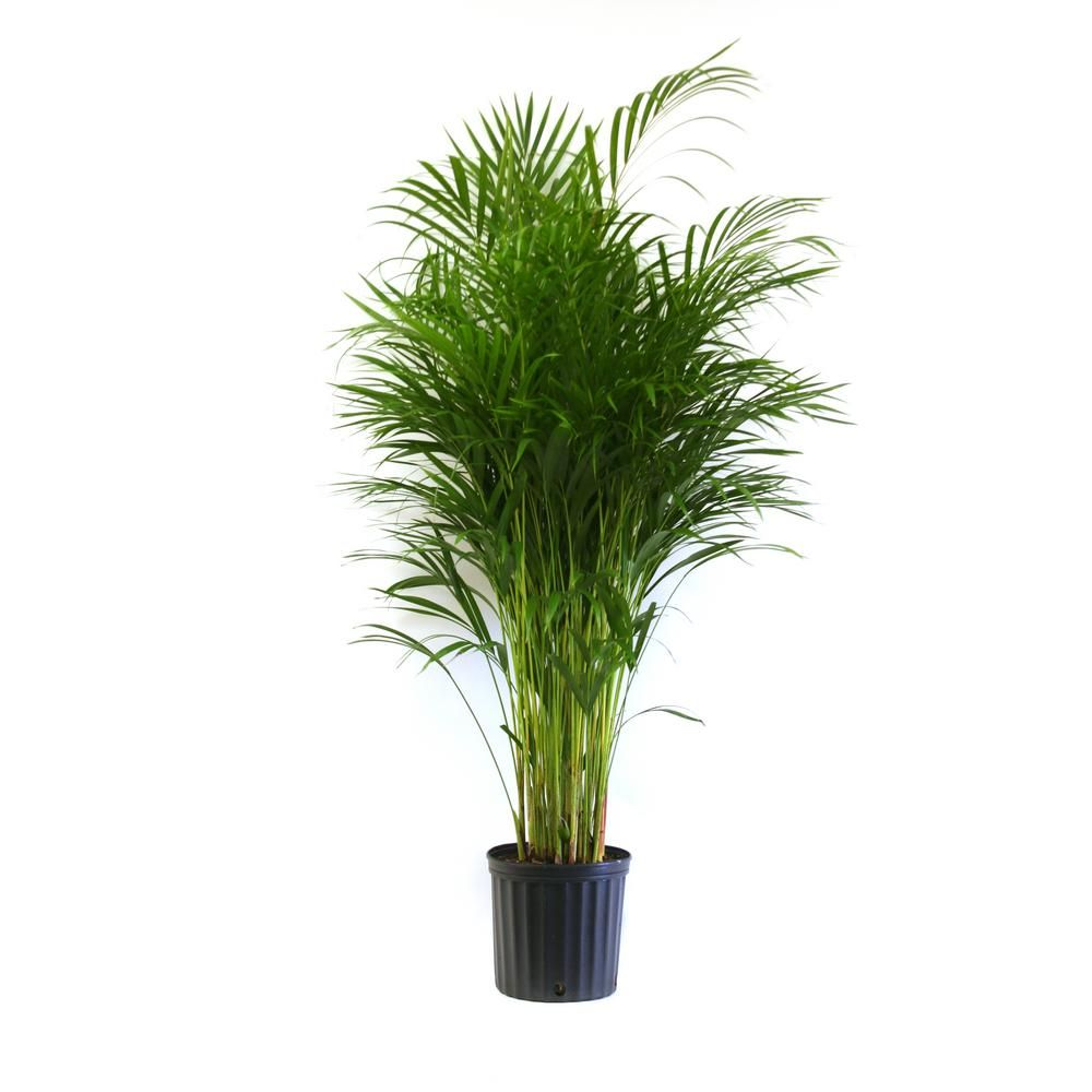 Home Depot Palm Trees Costa Farms Areca Palm In 9 25 In Grower Pot Midtown Apartment